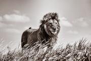 Lion King II