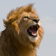 Shouting Lion
