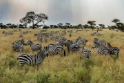 Zebra field